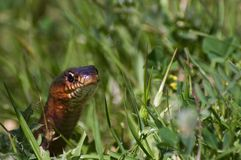 Serpiente en hierba Foto de archivo
