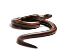 Serpiente en la caza Imagen de archivo libre de regalías