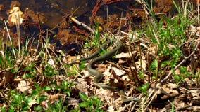Serpiente en la hierba almacen de video