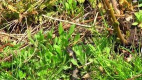 Serpiente en la hierba almacen de metraje de vídeo