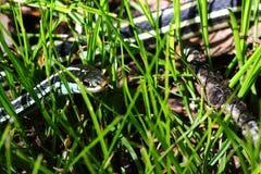 Serpiente en la hierba 3 Fotografía de archivo