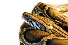 Serpiente en un fondo blanco Fotos de archivo libres de regalías
