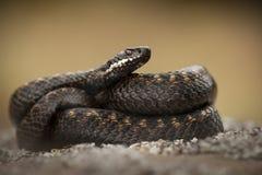 Serpiente europea fotografía de archivo libre de regalías