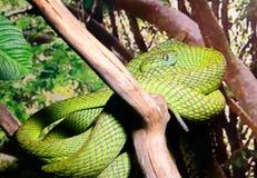 Serpiente gato-observada verde Imagen de archivo