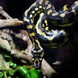 Serpiente grande Imagen de archivo libre de regalías