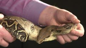 Serpiente grande que se mueve en las manos masculinas, fondo negro, tiro del constrictor del estudio metrajes
