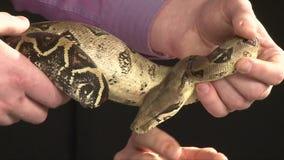 Serpiente grande que se mueve en las manos masculinas, fondo negro, tiro del constrictor del estudio almacen de video