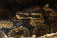 Serpiente hermosa del pitón Imágenes de archivo libres de regalías