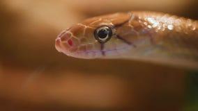 Serpiente indonesia de la joyería metrajes