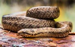 Serpiente lisa imagen de archivo libre de regalías