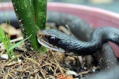 Serpiente meridional del corredor negro Foto de archivo