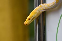 Serpiente modelada blanca del albino o adorno amarillo claro fotos de archivo libres de regalías