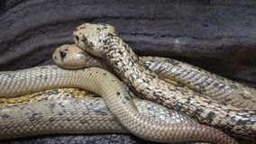 Serpiente muy peligrosa del nivea del Naja de la cobra del cabo almacen de video