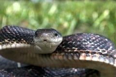 Serpiente negra Imagen de archivo
