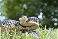 Serpiente negra Foto de archivo libre de regalías