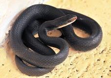 Serpiente negra Fotografía de archivo libre de regalías