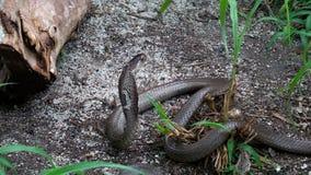 Serpiente negra de la cobra real en la posición de ataque con la capilla extendida almacen de metraje de vídeo