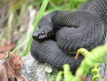 Serpiente negra europea que toma el sol Foto de archivo
