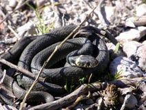 Serpiente o serpiente de hierba Imagen de archivo
