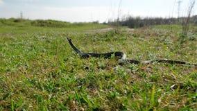 Serpiente o víbora grande y venenosa que se arrastra en la hierba almacen de metraje de vídeo