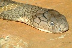 serpiente principal de la cobra real del tiro Imagen de archivo libre de regalías