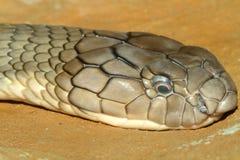 serpiente principal de la cobra real del tiro Fotografía de archivo libre de regalías