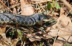 Serpiente que come la rana Foto de archivo libre de regalías