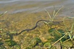 Serpiente que flota en el río Imágenes de archivo libres de regalías