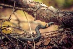 Serpiente que se arrastra a través del bosque imagenes de archivo