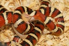 Serpiente que traga un ratón Fotos de archivo