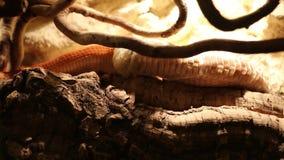 Serpiente que vierte la piel almacen de video