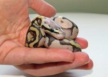 Serpiente real/de la bola del pitón del bebé foto de archivo