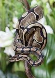 Serpiente real del pitón Imagen de archivo