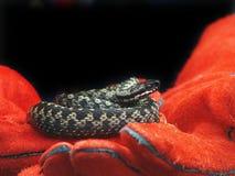 Serpiente, Reino Unido Foto de archivo libre de regalías
