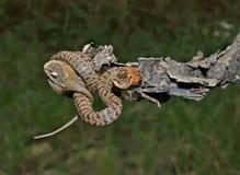 Serpiente (saxatilis del Agkistrodon) 19 Imagen de archivo libre de regalías