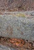 Serpiente septentrional de Copperhead Imagen de archivo libre de regalías