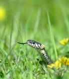 Serpiente sobre el fondo verde Foto de archivo