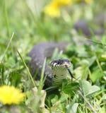 Serpiente sobre el fondo verde Fotografía de archivo
