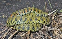 Serpiente (tigrina de Rhabdophis) 11 Foto de archivo libre de regalías
