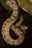 Serpiente tropical, hortulanus de Corallus de la boa del árbol foto de archivo libre de regalías