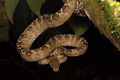 Serpiente tropical, hortulanus de Corallus de la boa del árbol fotos de archivo libres de regalías