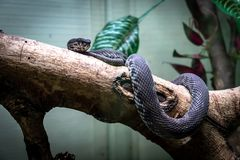 Serpiente, víbora de hoyo de la orilla en árboles imagen de archivo libre de regalías