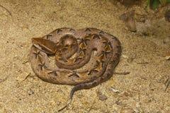 Serpiente, víbora de hueco malaya Imagenes de archivo