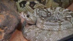Serpiente venenosa Fotos de archivo libres de regalías