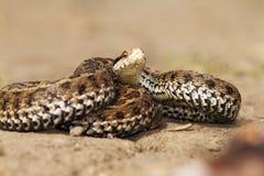 Serpiente venenosa lista para atacar Imagenes de archivo