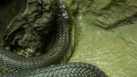 Serpiente venenosa majestuosa con la piel oscura Cobra real con monóculo hermosa con la piel negra en roca en jaula del terrario almacen de metraje de vídeo