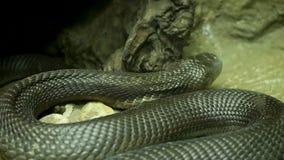Serpiente venenosa majestuosa con la piel oscura Cobra real con mon?culo hermosa con la piel negra en roca en jaula del terrario metrajes