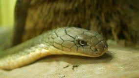 Serpiente venenosa majestuosa con la piel rayada ligera Cobra real con mon?culo hermosa en roca en jaula del terrario metrajes