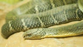 Serpiente venenosa majestuosa con la piel rayada ligera Cobra real con mon?culo hermosa en roca en jaula del terrario almacen de metraje de vídeo
