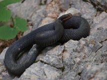Serpiente venenosa - víbora negra Foto de archivo libre de regalías